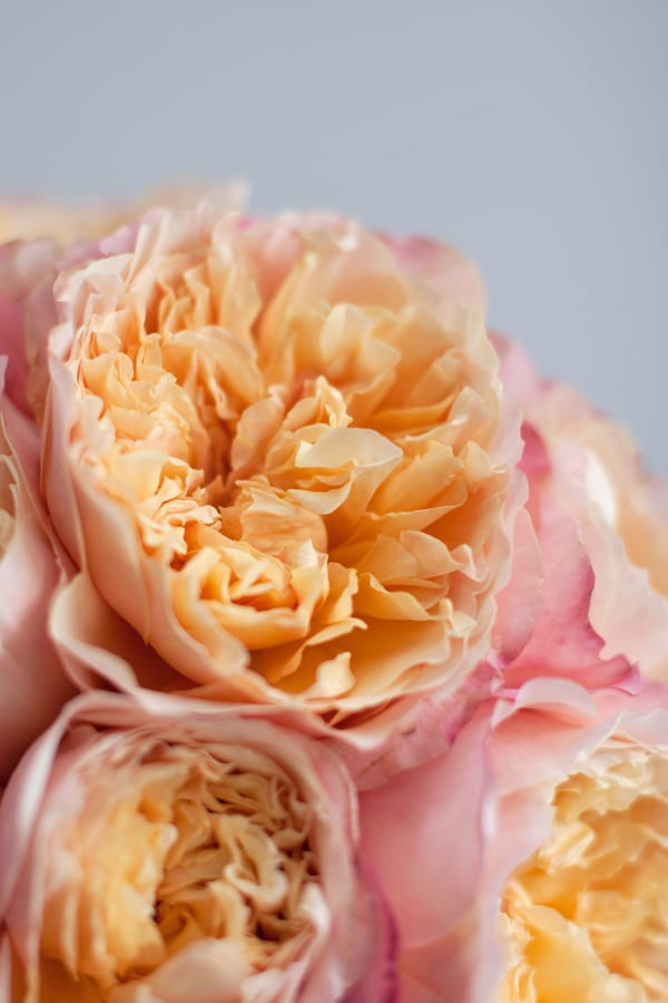 David-Austin-Rose-Alexandra-Farms-Flowerona-Edith