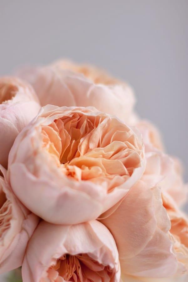 David-Austin-Rose-Alexandra-Farms-Flowerona-Juliet