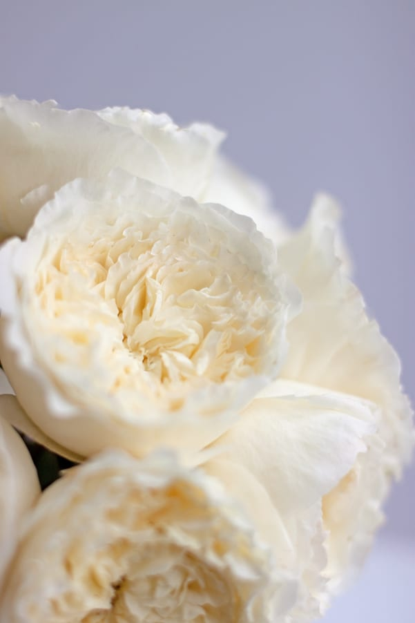 David-Austin-Rose-Alexandra-Farms-Flowerona-Patience