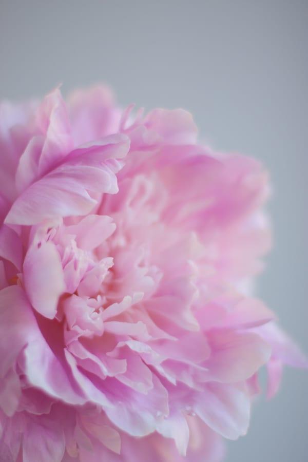 Dinner Plate Peonies Zest Flowers Flowerona-1