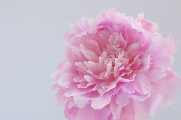 Dinner Plate Peonies Zest Flowers Flowerona-3
