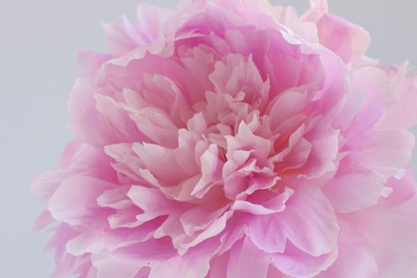 Dinner Plate Peonies Zest Flowers Flowerona-4