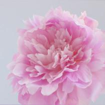 Dinner-Plate-Peonies-Zest-Flowers-Flowerona-8
