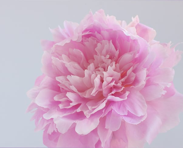 'Dinner Plate' Peonies…such an amazing peony variety!