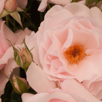 RHS-Hampton-Court-Palace-Flower-Show-2015-Flowerona-Feature