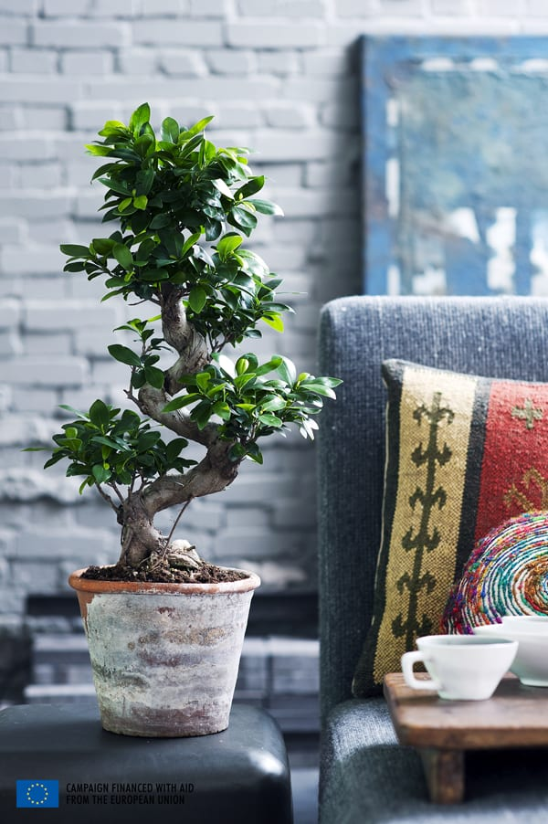 Ficus-House-Plant-of-the-Month-Flowerona-1