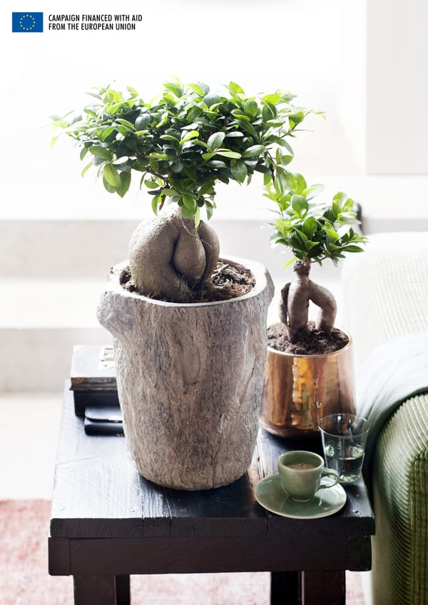 Ficus-House-Plant-of-the-Month-Flowerona-2