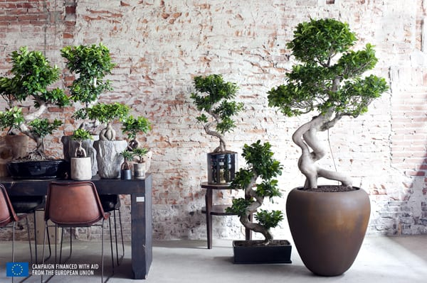 Ficus-House-Plant-of-the-Month-Flowerona-3