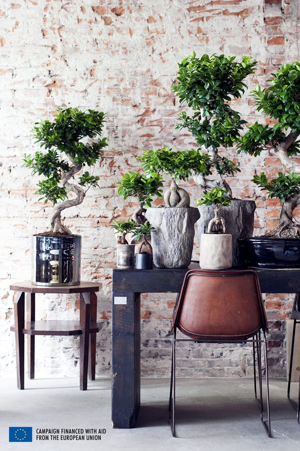 Ficus-House-Plant-of-the-Month-Flowerona-4