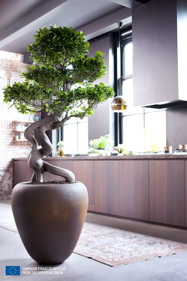 Ficus-House-Plant-of-the-Month-Flowerona-6