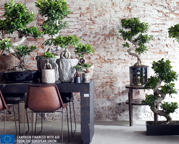 Houseplant of the Month – Ficus Ginseng