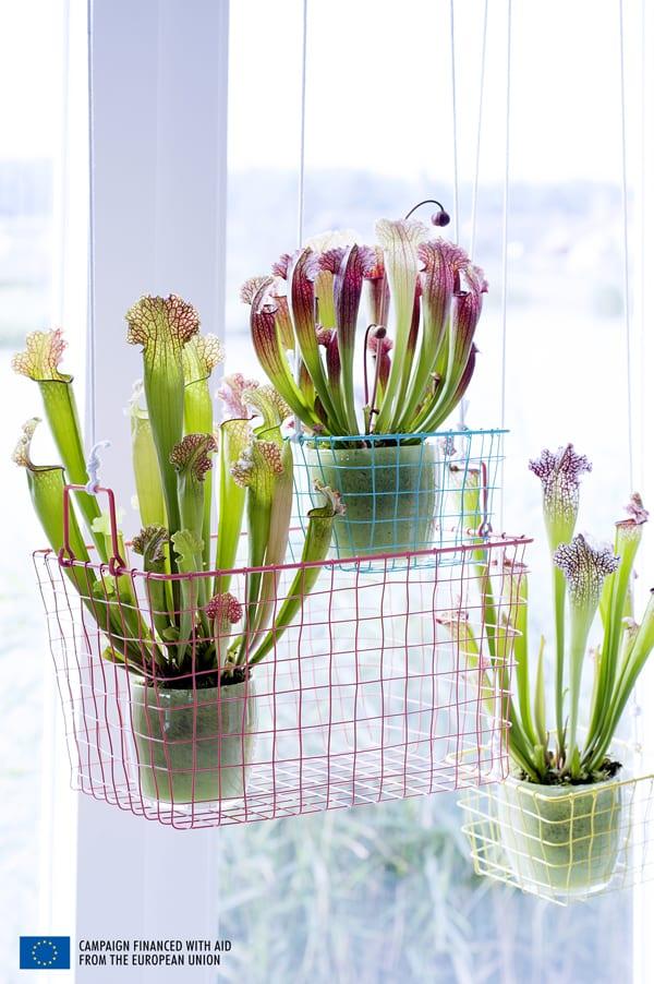 Carnivorous-Plants-Flowerona-5