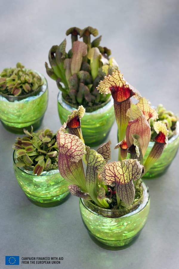 Houseplant Of The Month Carnivorous Plants Flowerona