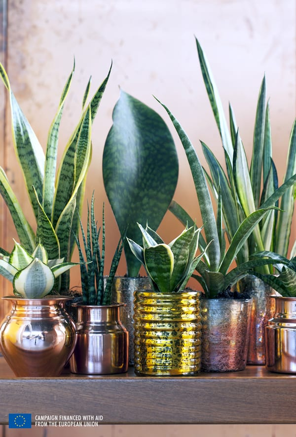 Houseplant-of-the-Month-August-2015-Sansevieria-Mother-in-laws-tongue-Flowerona-3