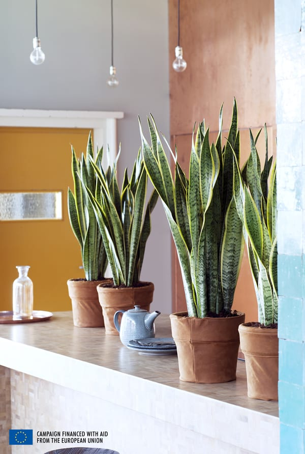 Houseplant-of-the-Month-August-2015-Sansevieria-Mother-in-laws-tongue-Flowerona-4