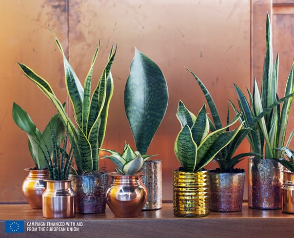 Houseplant of the Month – Mother-in-Law's Tongue