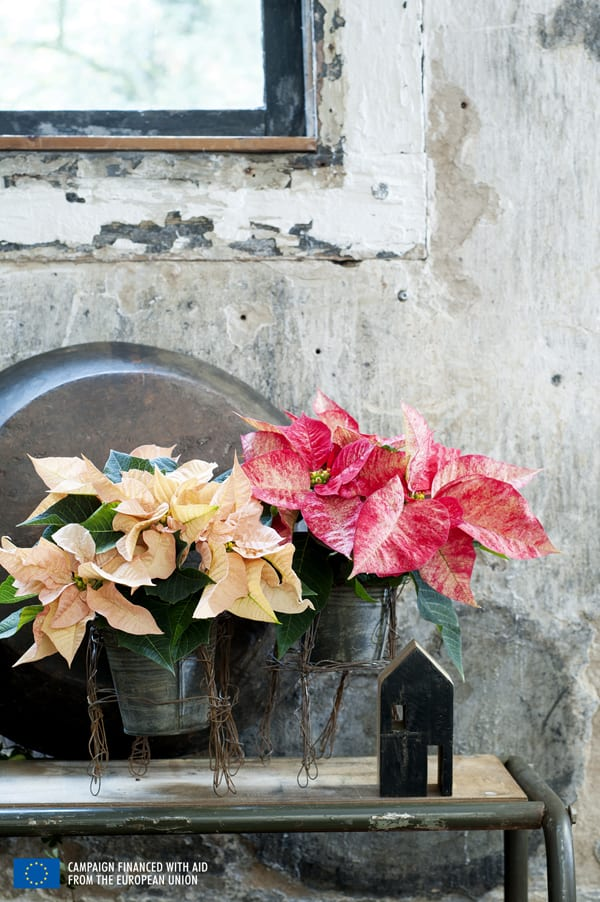 Poinsettia-Houseplant-of-the-Month-Flowerona-2