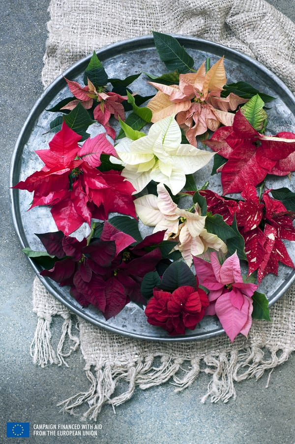 Poinsettia-Houseplant-of-the-Month-Flowerona-3