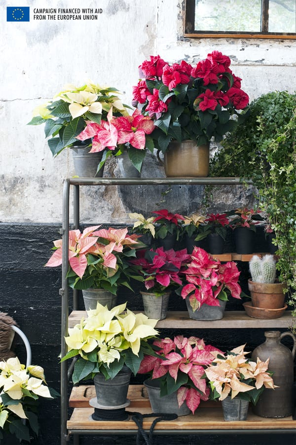 Poinsettia-Houseplant-of-the-Month-Flowerona-5