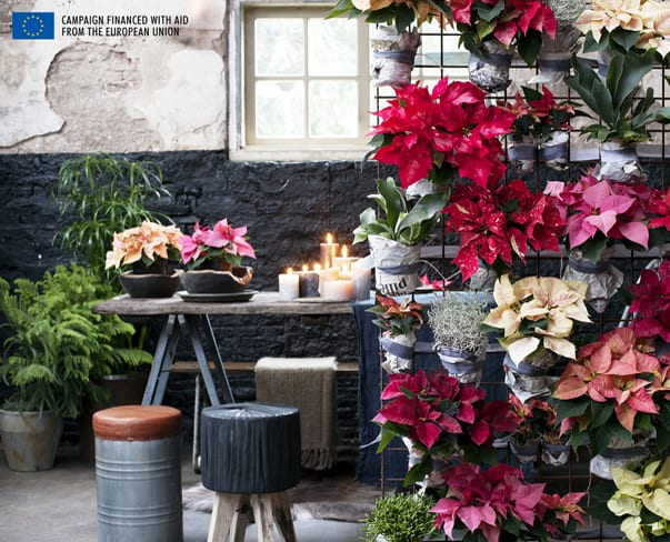 Houseplant of the Month – Poinsettia