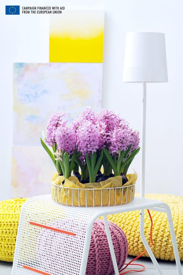 Hyacinth-Houseplant-of-the-Month-Flowerona-1