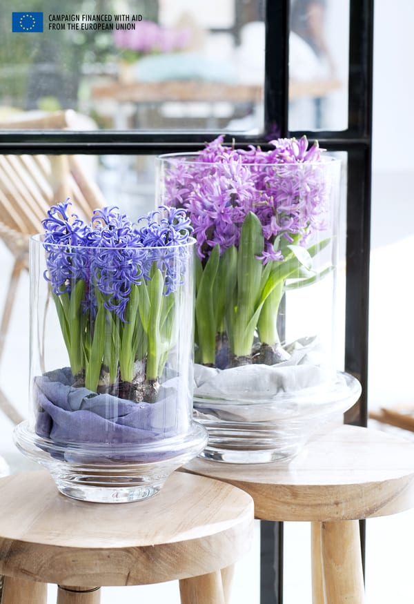 Hyacinth-Houseplant-of-the-Month-Flowerona-2