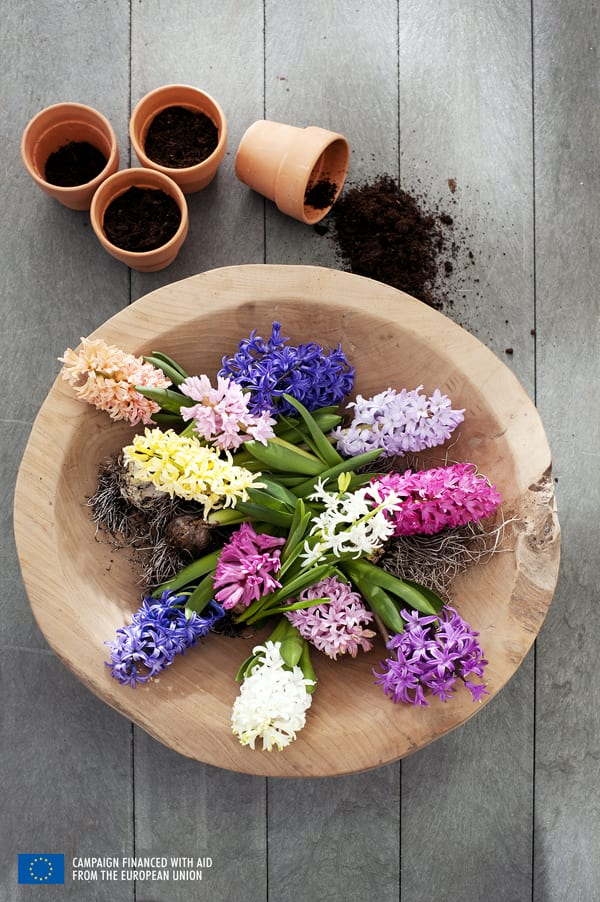 Hyacinth-Houseplant-of-the-Month-Flowerona-4