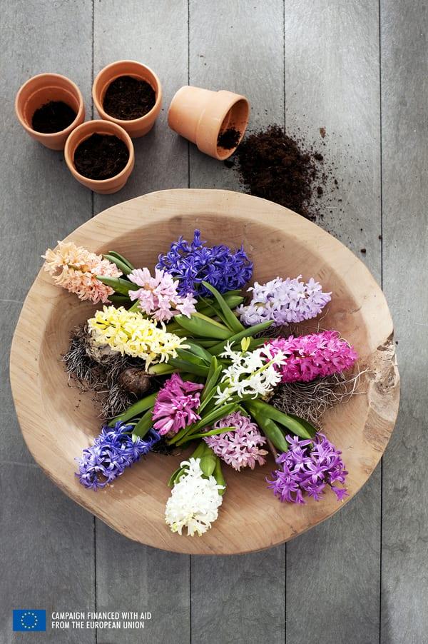 Hyacinth-Houseplant-of-the-Month-Flowerona-4