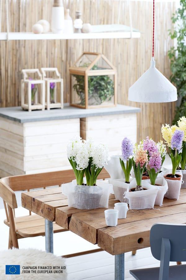 Hyacinth-Houseplant-of-the-Month-Flowerona-5