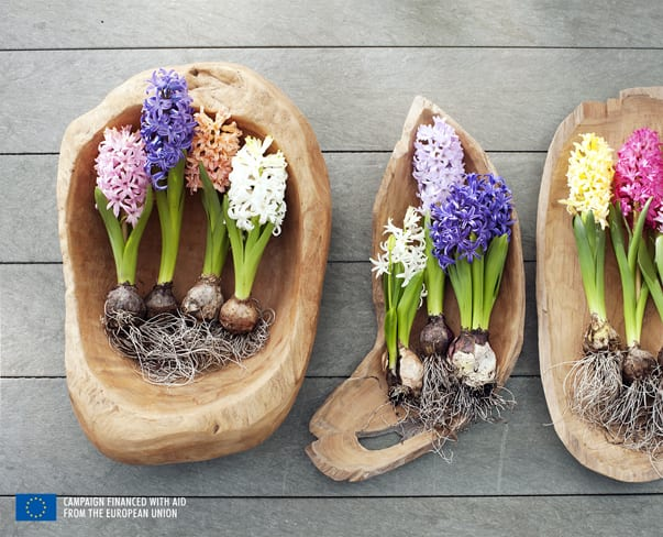 Houseplant of the Month – Hyacinth