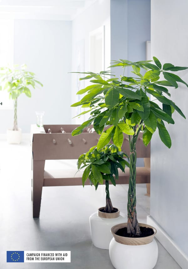 Indoor-Trees-Houseplant-of-the-Month-January-2016-Flowerona-1