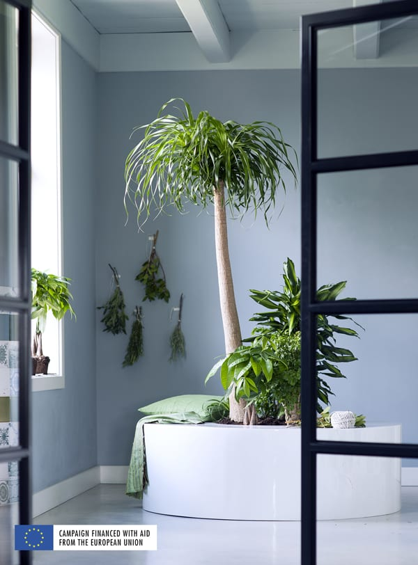houseplant of the month indoor trees flowerona. Black Bedroom Furniture Sets. Home Design Ideas