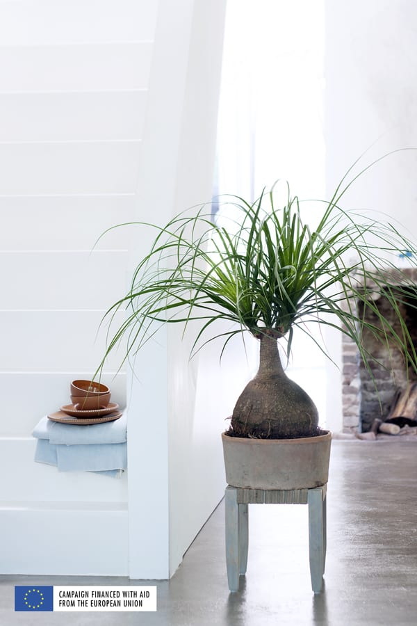 Indoor-Trees-Houseplant-of-the-Month-January-2016-Flowerona-5