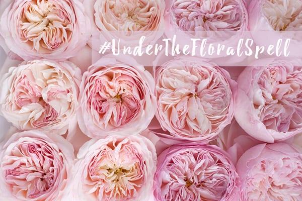 David Austin Roses Flowerona 600