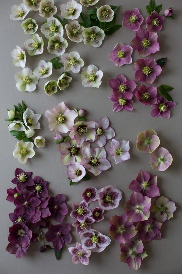 Floret-Flower-Farm-Hellebores-600