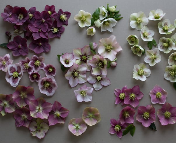 Flowerona Links : With hellebores, paper flowers & a flower school…