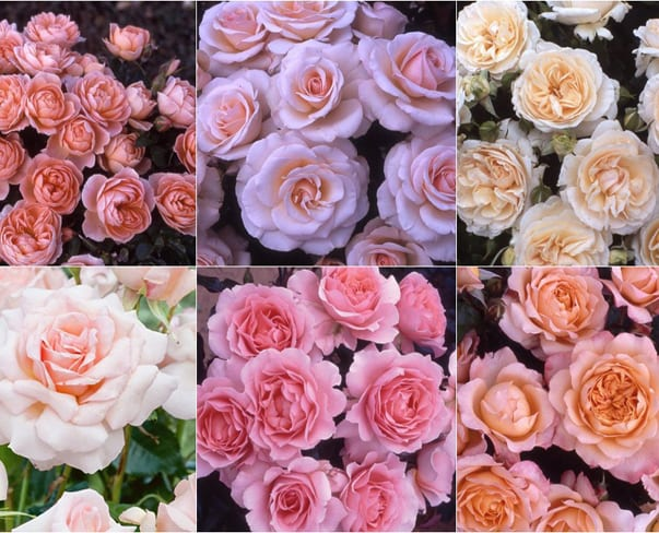 Beautiful garden roses…and now's the perfect time to plant them