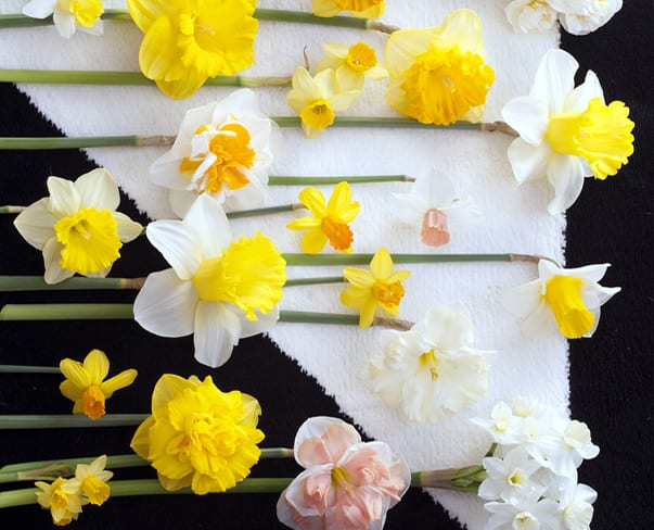 Houseplant of the Month – Narcissus