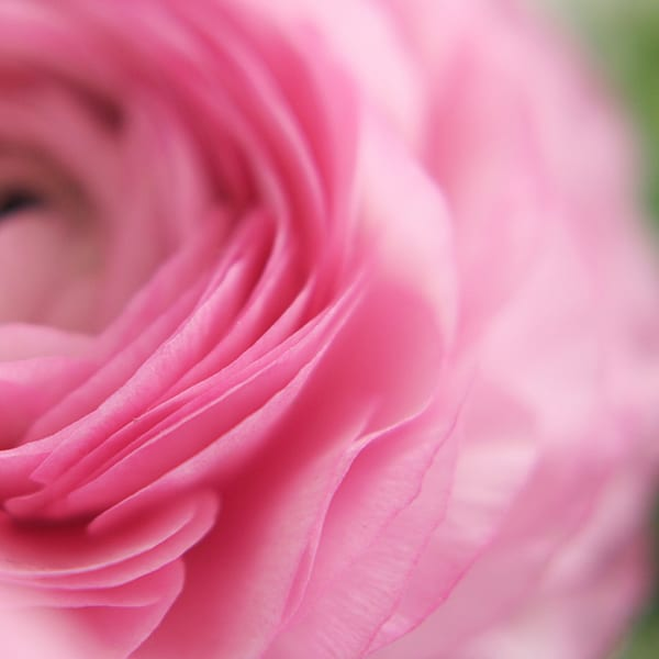 Julie-Davenport-Pink-Ranunculus-600