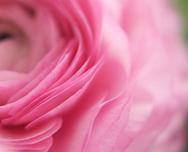 Julie-Davenport-Pink-Ranunculus-Feature