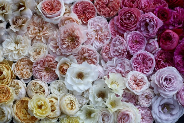Field-of-Roses-600