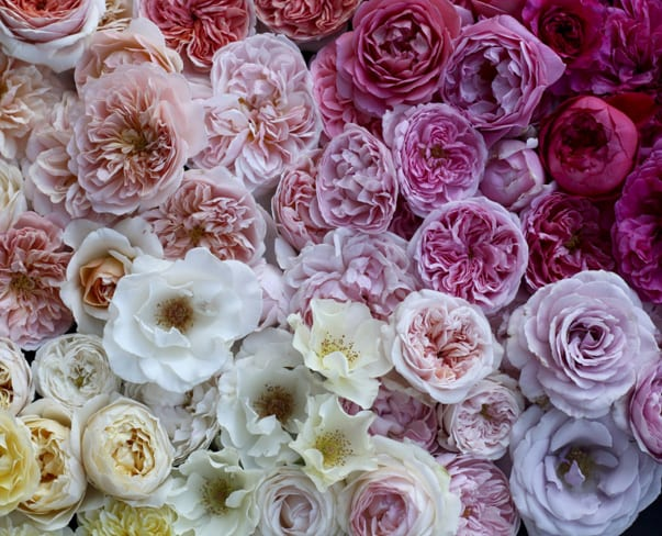 Flowerona Links : With roses, blackberries & a cutting garden…