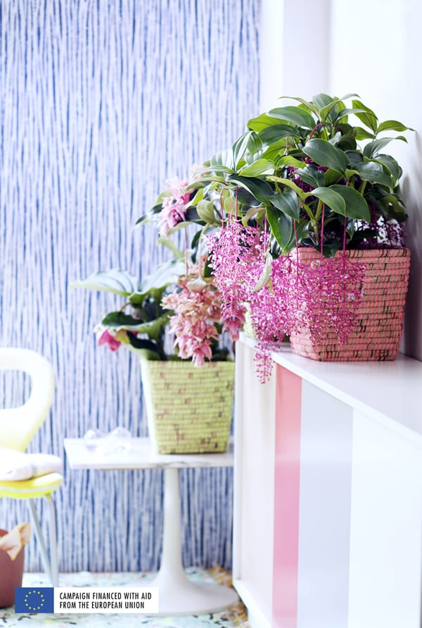 Blooming-Tropical-Plants-Houseplant-of-the-Month-May-2016-Flowerona-5
