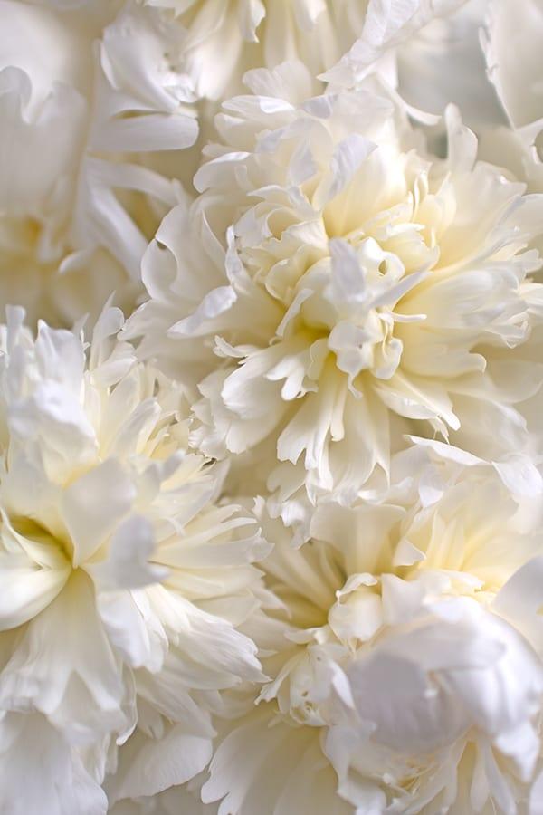 Duchesse-de-Nemours-Peony-Flowerona-2