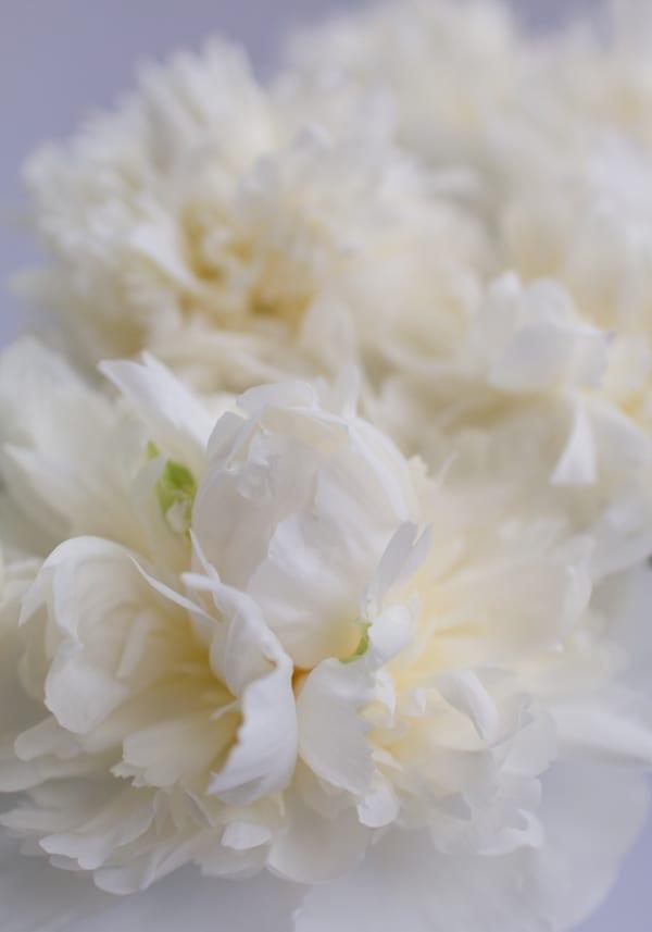 Duchesse-de-Nemours-Peony-Flowerona-5