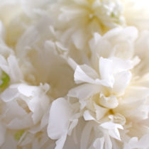 Duchesse-de-Nemours-Peony-Flowerona-feature1