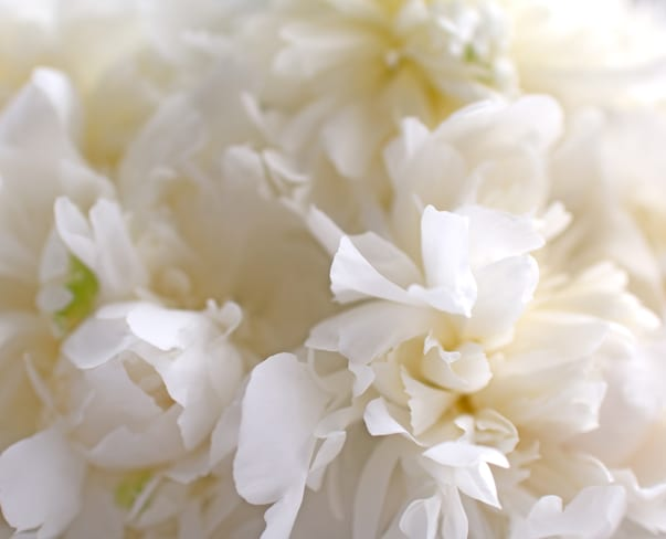 Peonies…utterly unpredictable but also stunningly sensational
