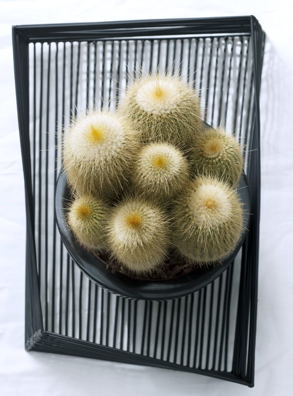 Cactus-Houseplant-of-the-Month-Cacti-Flowerona-3