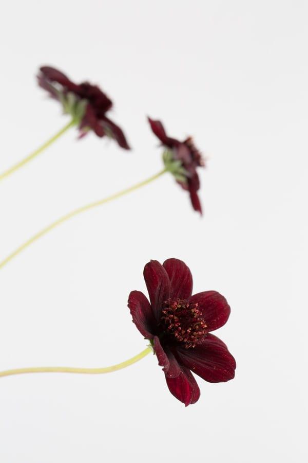 Chocolate Cosmos Zest Flowers Flowerona 600-52