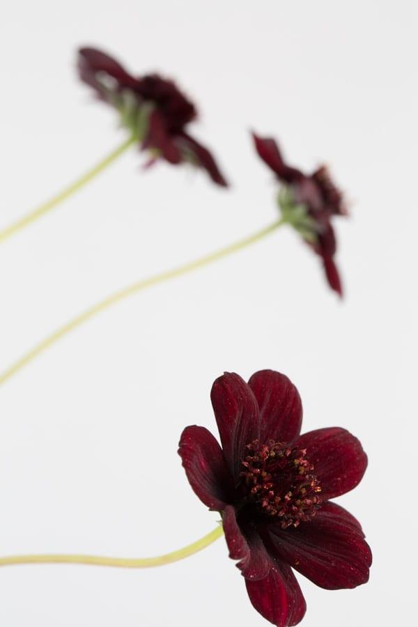 Chocolate Cosmos Zest Flowers Flowerona 600-53